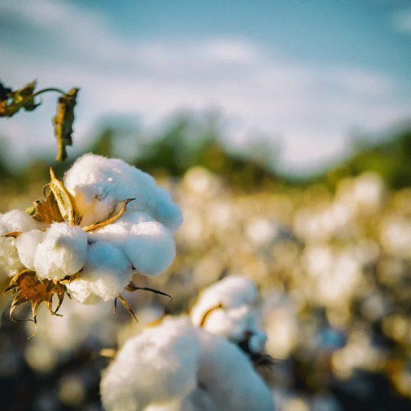 Puuvillapelto. Kuva bobbycrim Pixabaystä